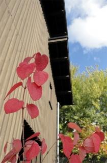 2013秋 カツラの紅葉