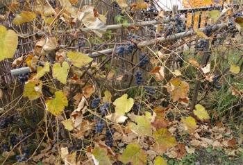 2013 庭のブドウがたくさんなった