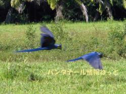 Arara Azul2