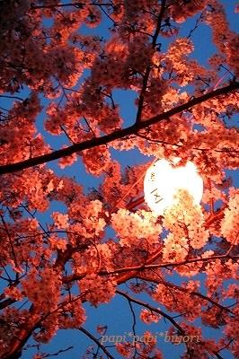 夜の桜☆お散歩