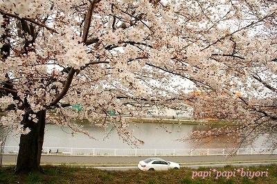 対岸の桜★
