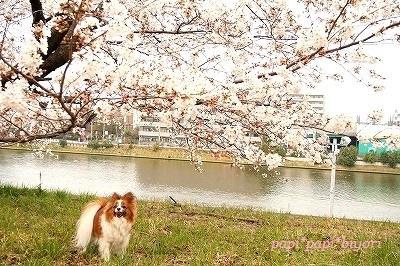 ぱぴと桜@2013★★