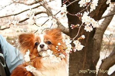 papi with sakura