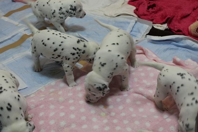 ハニーちゃんの子犬23日目3