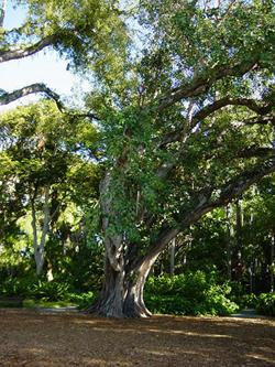 Bodhi_tree_foster_botanical_gardens_hawaii[1]