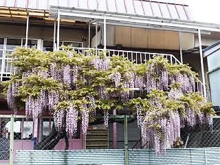 130502フジの花