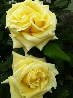 130510バラ黄色