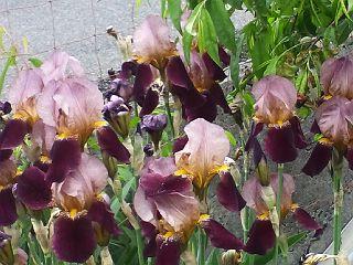 130510ジャーマンアイリス紫