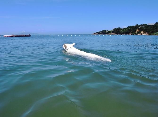 ホワイトシェパード テーオのぬるぬる泳ぎ