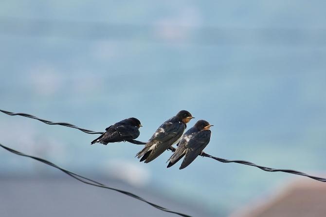 3羽のツバメっ子