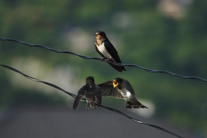 ツバメ幼鳥3羽は腹減り中