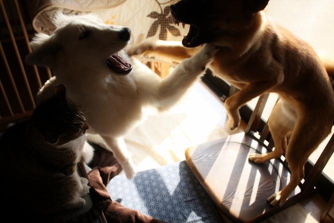 雑種犬タラとホワイトスイスシェパード ルーアの熱い攻防戦