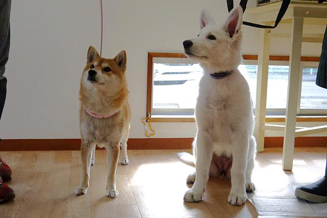 柴犬マロン店長とホワイトスイスシェパードルーア