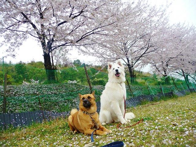 タラとルーアと桜並木