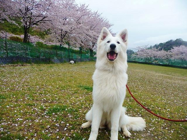 """むっちり口元ルーアと桜"""""""
