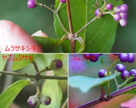 ムラサキ1025-7ヤブ1025-5コ1023-8