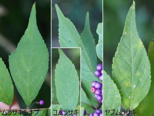 ムラサキ1025-12コ1023-1ヤブ1025-17