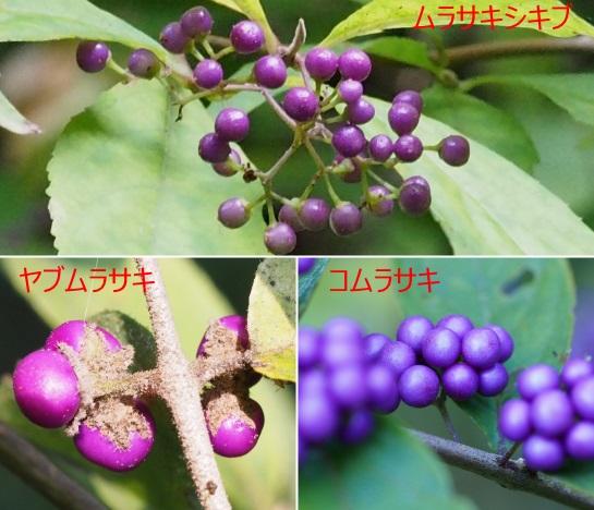 ムラサキ1025-22ヤブ1025-9コ1023-10