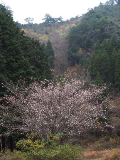 冬桜?1128-2