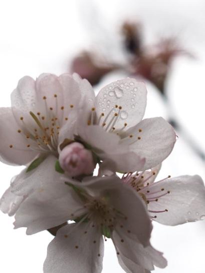 冬桜?1128-5