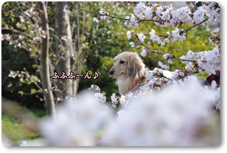 松任の桜 6