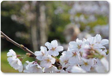 松任の桜 5