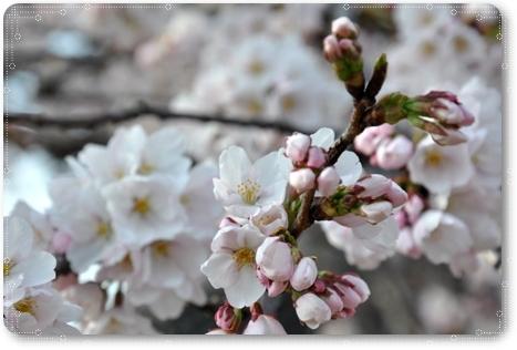 松任の桜 1