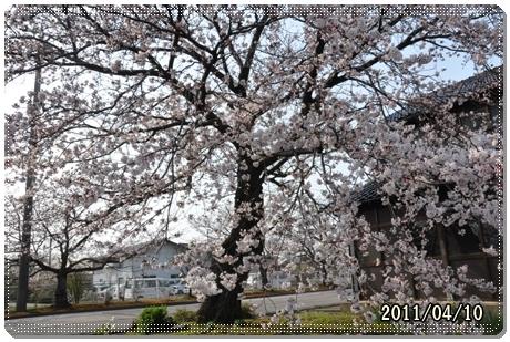 松任の桜 2