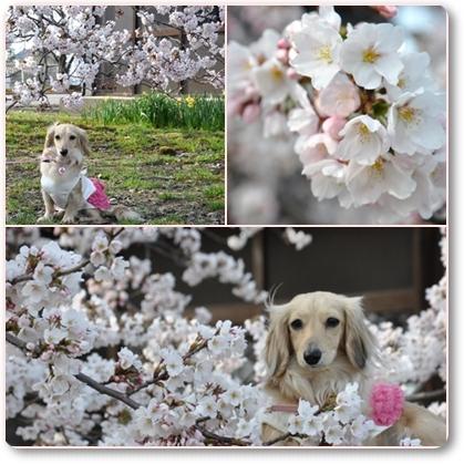 松任の桜3-1