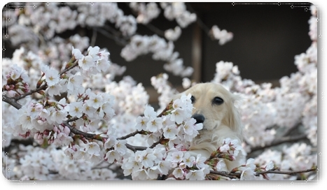 松任の桜 8