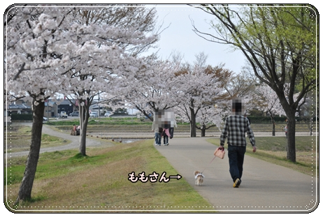 木場潟桜 133