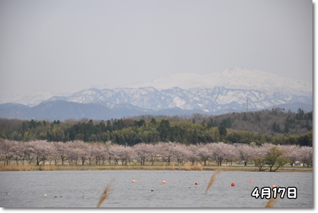 木場潟桜 127