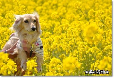 菜の花畑 040