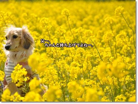 菜の花畑 016
