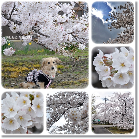 近所の桜6-1