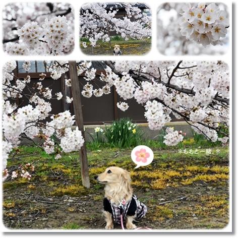 近所の桜4-1