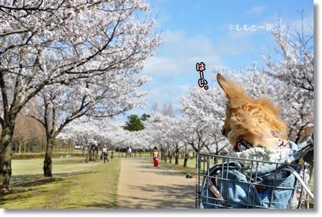 木場潟桜0414 074