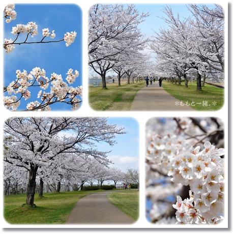木場潟桜4-1