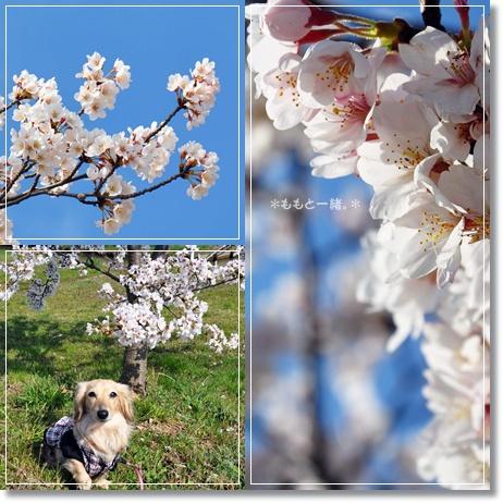 木場潟桜3-1
