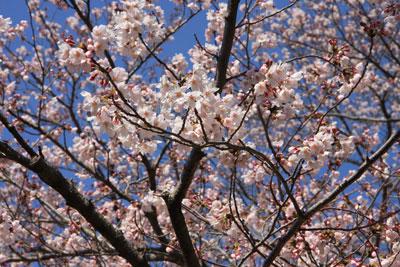 1204文化センターの桜
