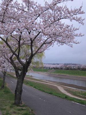 1204釈迦堂川の桜