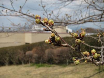 1303桜の芽吹き