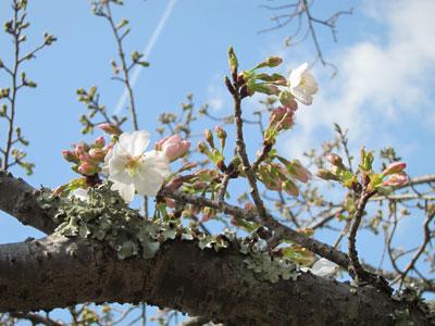1303大島桜