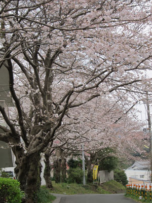 1303近所の桜