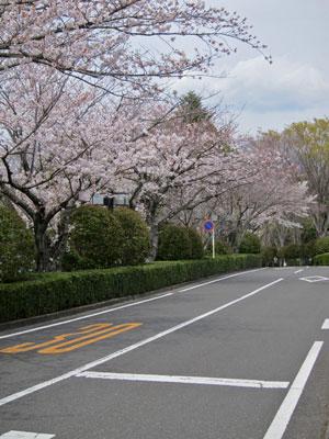 1303文化センターの桜