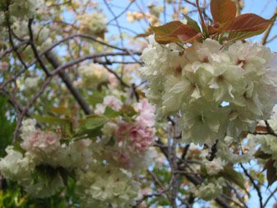 1304八重桜
