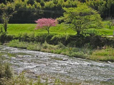 1304興津の八重桜