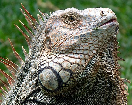 Iguana_Costa_Rica.jpg