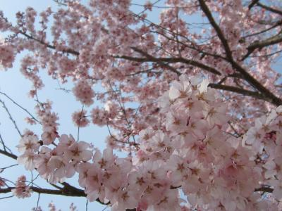 大学の桜 満開