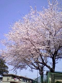 桜満開 公園にて